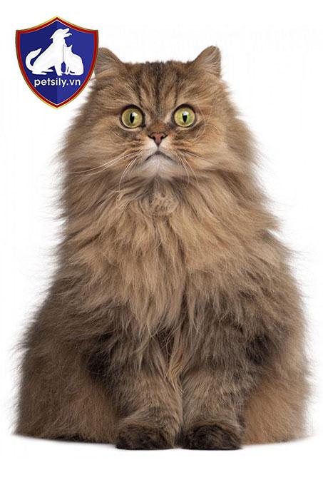 Mèo Ba Tư có kích thước cơ thể thuộc vào dạng trung bình