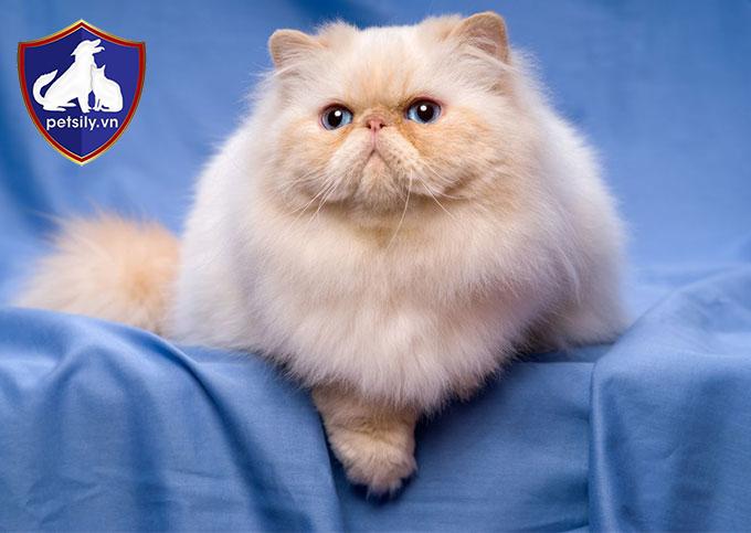 Mèo Ba Tư rất ngoan và thông minh