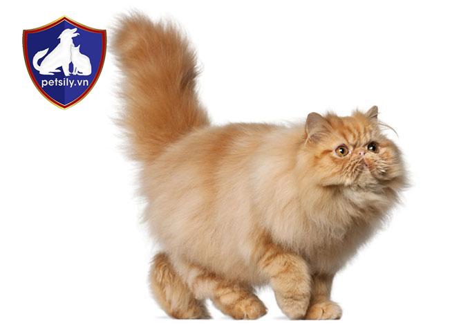 Mèo Ba Tư sở hữu bộ lông tương đối dài và dày