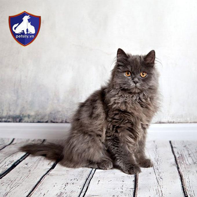 Mèo mặt tịt có nguồn gốc từ vùng Ba Tư, tức là Iran ngày nay