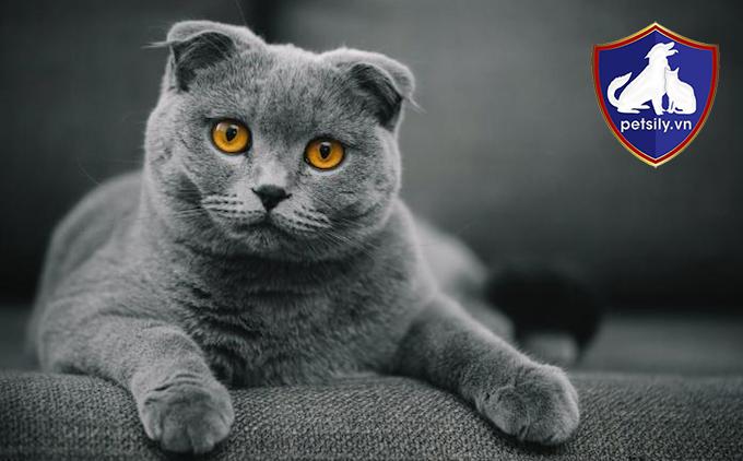 Một bé mèo xinh xắn với đôi mắt vàng sâu thẳm, đôi tai cụp ngắn dễ thương