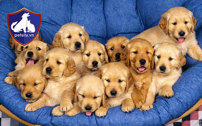Những chú chó con đã có thể xuất chuồng