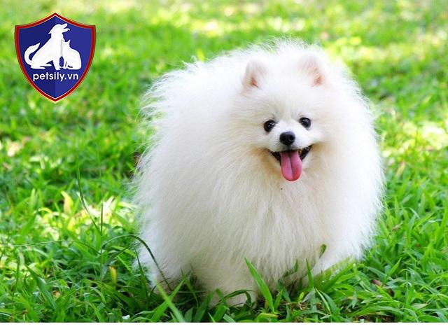 Những chú cún cưng được Petsily Shop cung cấp cho khách hàng đều là những em cún tuyệt vời nhất.