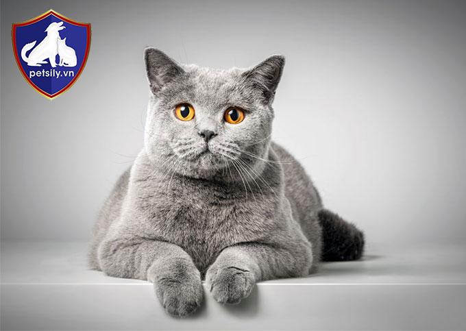 Petsily.vn - gia đình thú cưng với đa dạng các giống mèo Anh đáng yêu cho bạn