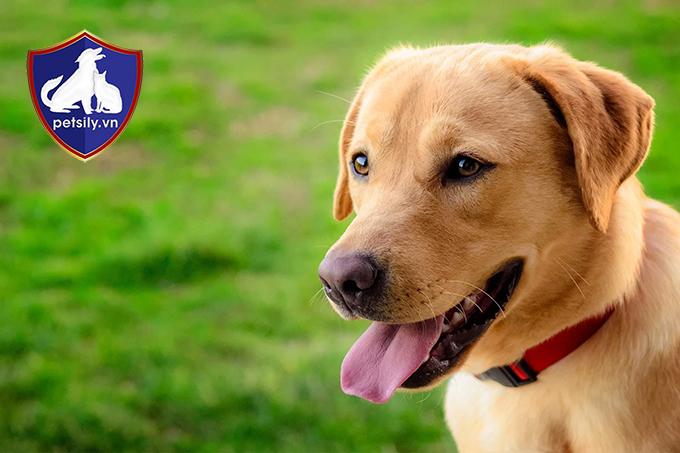 Phân loại chó Labrador