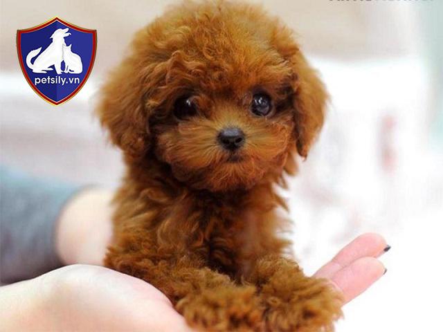 Poodle nên được cho ăn điều độ 2 lần trong một ngày. Mỗi lần ăn chỉ lấy một lượng thức ăn nhỏ.