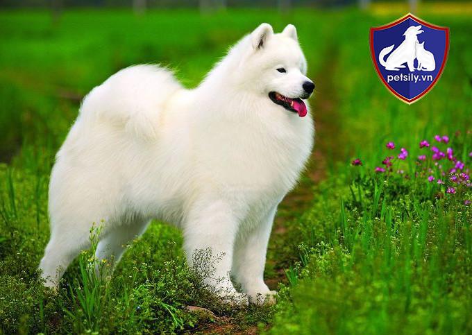 Samoyed là dòng chó kéo có nguồn gốc từ vùng rừng núi Taiga