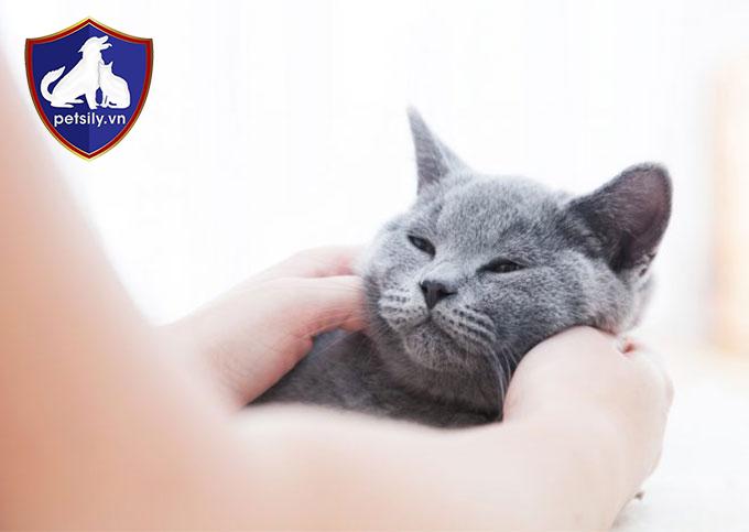 Từ trẻ em đến người lớn đều rất yêu thích chơi đùa với các chú mèo Anh quốc thân thiện, tình cảm