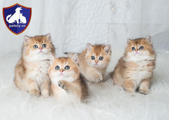 Tùy thuộc vào đặc điểm của từng bé mèo mà mức giá để sở hữu hoàng thượng cũng khác nhau