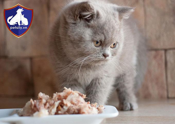 Việc chăm sóc và nuôi dưỡng một bé mèo Anh không khó như bạn tưởng