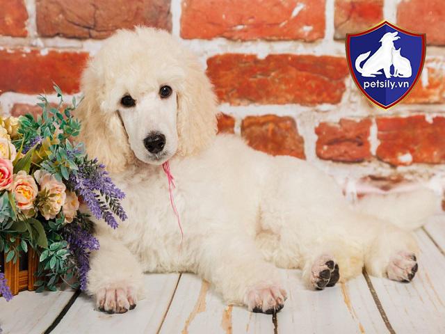 Xếp ngay sau Border Collie,, Poodle của chúng ta là loài cún cưng thông minh thứ hai đấy.