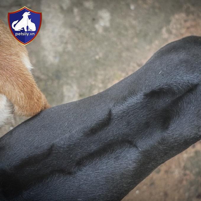 Xoáy lông vô cùng đẹp mắt của chó Phú Quốc