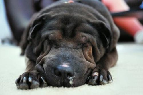 Chó bị chảy nước mũi, máu cam – Nguyên do và cách khắc phục