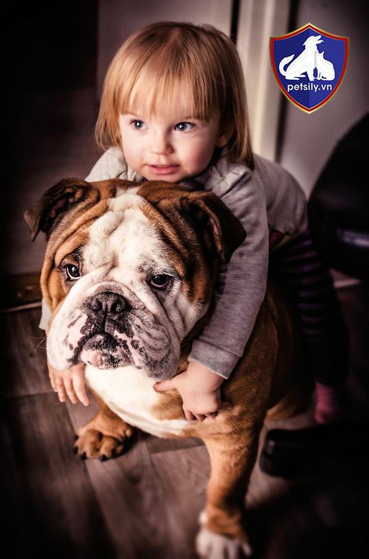 Chó Bull Anh cực thân thiện với trẻ nhỏ