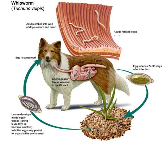 Giun đũa ở chó – Cách nhận biết và chữa trị hiệu quả không phải ai cũng biết