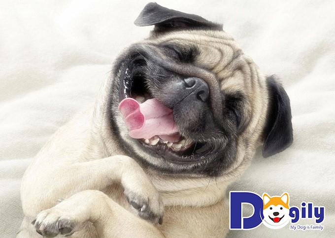 Hình ảnh chó Pug cực ngộ nghĩnh và đáng yêu