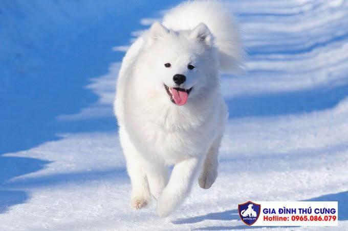 Cùng thưởng thức những hình ảnh chó Samoyed cực cute và đáng yêu.