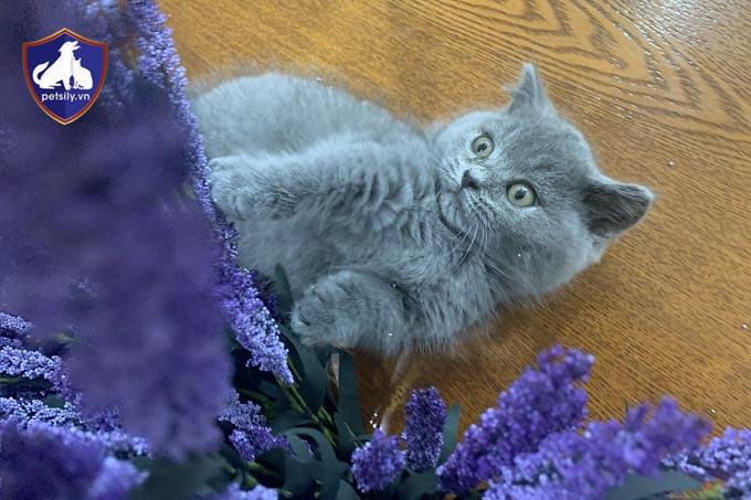 Mua Bán Mèo Anh lông ngắn giá rẻ tại Petsily Shop Tphcm và Hà Nôi. Bảo Hành Sức Khỏe 45 Ngày