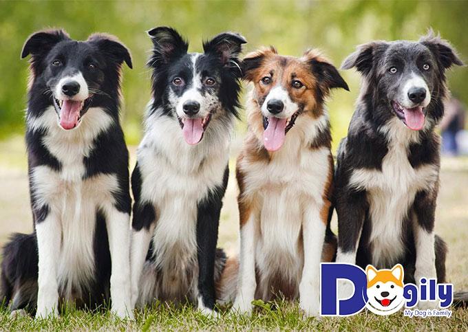 Tổng hợp những thông tin chi tiết về giống chó Border Collie