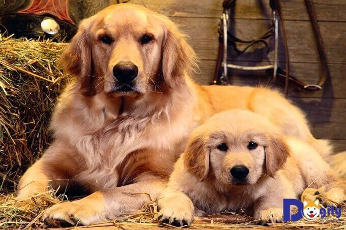 Giá chó Golden Retriever con ở Tphcm, Hà Nội bao nhiêu tiền?