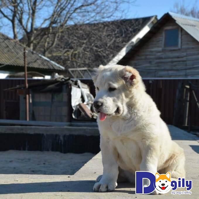 Giá chó Alabai nhập khẩu bao nhiêu tiền? Mua bán ở đâu?