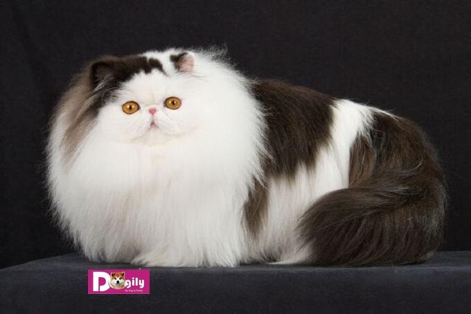 Mèo Ba Tư Giá bao nhiêu tiền tại Tphcm, Hà Nội?