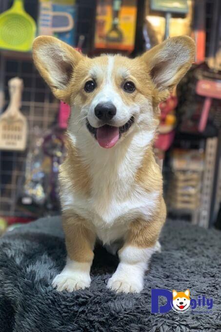 Giá bán chó Corgi cập nhật mới nhất 2019