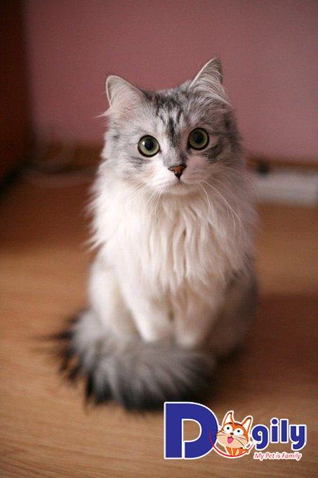 Cập nhật bảng giá mèo Anh lông dài mới nhất tại Petsily Petshop