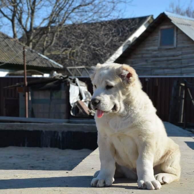 Chó Alabai Khổng lồ nhập khẩu – Mua bán giá tốt tại Petsily Shop Hà Nội – Tphcm