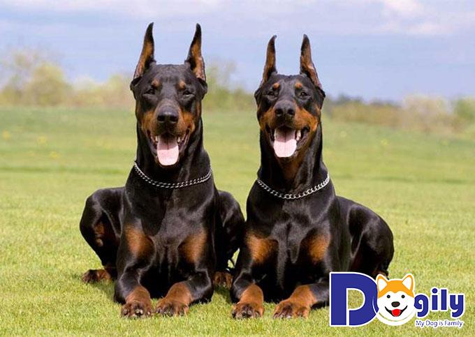 Chó Doberman Pinscher – Nguồn gốc, đặc điểm, cách nuôi, chăm sóc, huấn luyện và giá mua bán