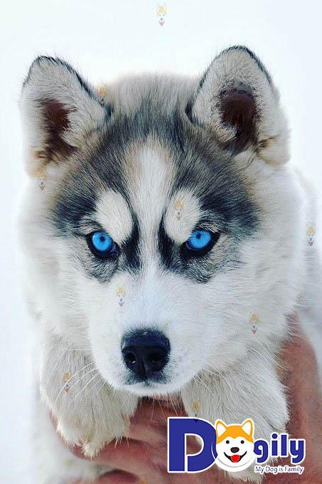 Chó Husky – Thông tin, đặc điểm, cách nuôi, chăm sóc và huấn luyện