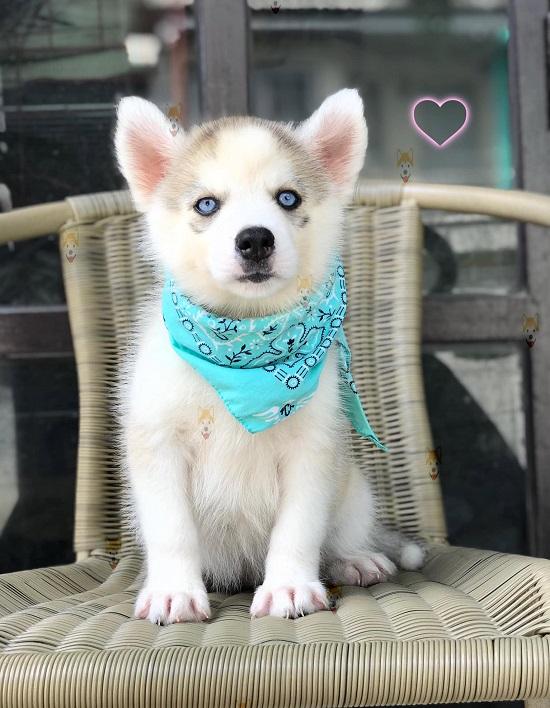 Đôi mắt màu xanh dương tuyệt đẹp điển hình của giống chó Husky.