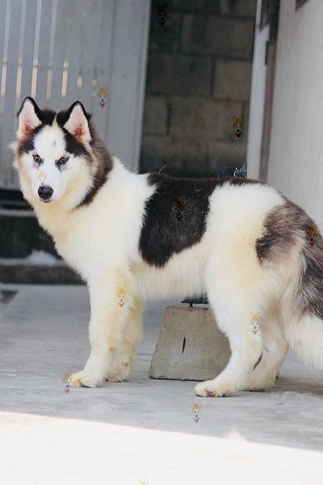 Ngoại hình chó Husky rất oai phong mạnh mẽ.